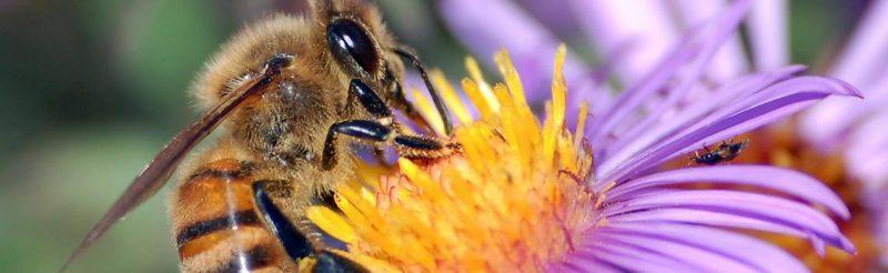 למה כל כך חשובות הדבורים בעולם