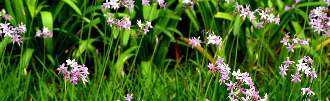 צמחים ריחנים לעונת הקיץ